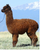 Breeding to MFI Peruvian Cordell (FULL PERUVIAN!)