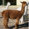 Bred Alpaca Females