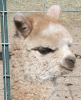 Maiden Alpaca Females