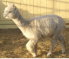Open Alpaca Females